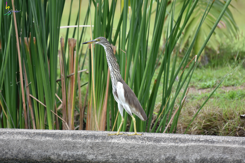 Pond_Heron_4432