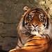 <p><a href=&quot;http://www.flickr.com/people/136526699@N04/&quot;>jeff.dugmore</a> posted a photo:</p>&#xA;&#xA;<p><a href=&quot;http://www.flickr.com/photos/136526699@N04/26719677378/&quot; title=&quot;Sumatran tiger&quot;><img src=&quot;http://farm5.staticflickr.com/4610/26719677378_458216f645_m.jpg&quot; width=&quot;240&quot; height=&quot;180&quot; alt=&quot;Sumatran tiger&quot; /></a></p>&#xA;&#xA;<p>Dudley Zoo</p>