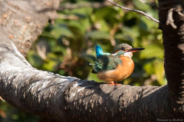 20180121-kingfisher-DSC_5198
