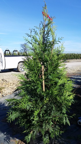 Thuja Green Giant 10 gal 4-5' | by Johnson Farms