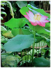 Nelumbo nucifera (Indian Lotus, Sacred Lotus, Sacred Water Lily, Egyptian Bean, Lotus, Teratai in Malay) can grow up to 150 cm tall, 1 Feb 2017