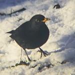 2018:02:13 11:34:57 - DIY Test Foto - Vogel im Garten auf Futtersuche