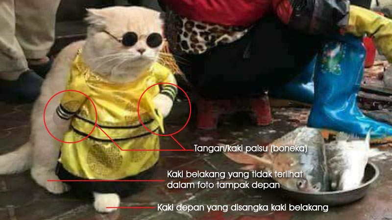 Fakta kucing yang berdiri ternyata menggunakan baju khusus.
