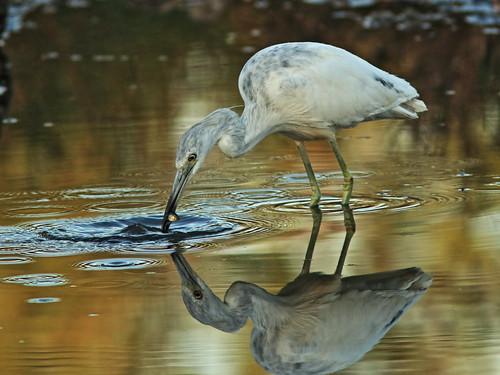 Little Blue Heron immature 05-20180306