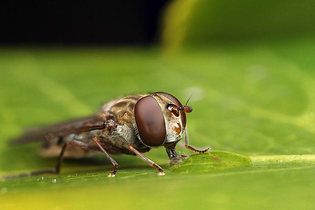Hoverfly Episyrphus balteatus #4