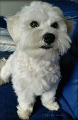 Alfie  .. Sitting Pretty ❤ #zuchon #puppy #dog #fluffy #beautiful #jennyparry #cute