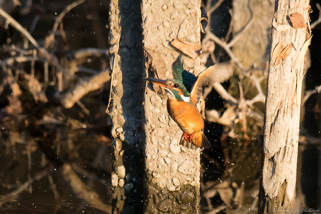 20180113-kingfisher-DSC_4123