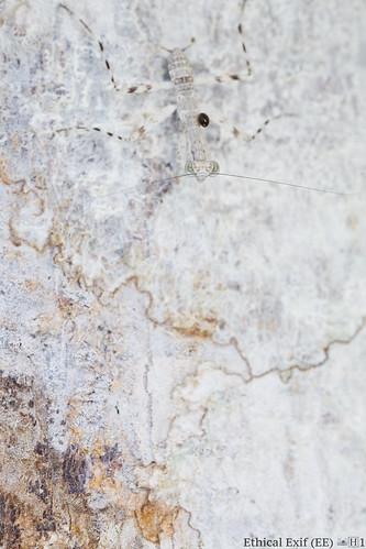 Camouflaged juvenile bark mantis