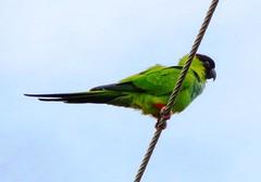 Nanday Parakeet (c) 2018 Charles L. Smart
