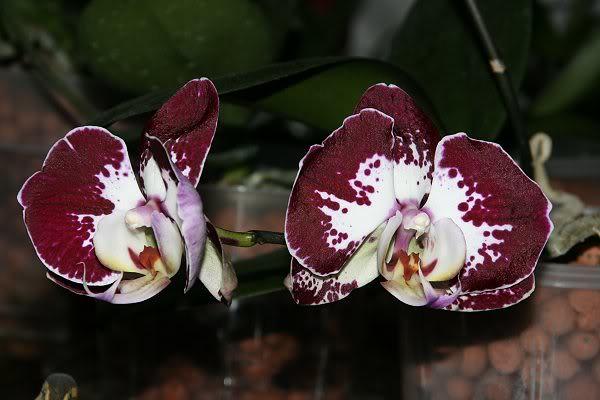 Les orchidées chez Sougriwa - Page 3 39109049094_f6928c1737_z