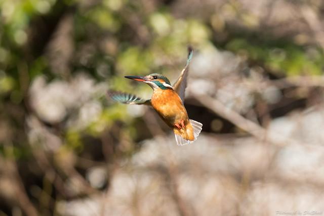 20180203-kingfisher-DSC_6945