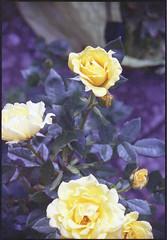 Kodak Retina Reflex 025 with Expired film - Yellow Roses