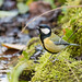 Great tit (Parus major) on moss by stream