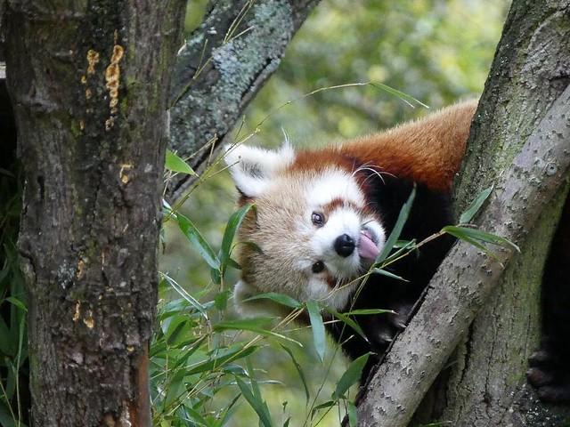 Roter Panda, GaiaZOO