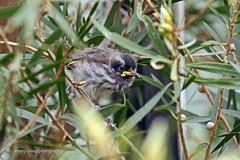 New Holland Honeyeater - fledgling (0334)