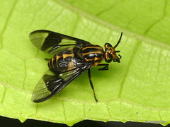 Deer fly, Chrysops sp., Tabanidae