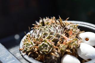 DSC_2813 Orostachys japonica 'TSUSHIMA' オロスタキス 対馬爪蓮華