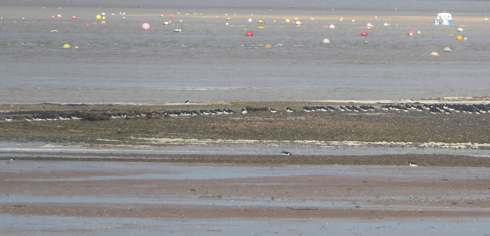 Oystercatchers on mud bank, river Exe
