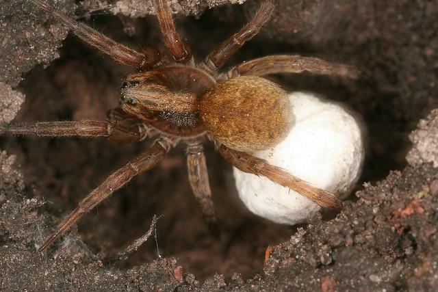 Araignée lycoside (araignée-loup, wolf spider) et son sac à oeufs.