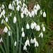 Snowdrops at Myddelton House Gardens