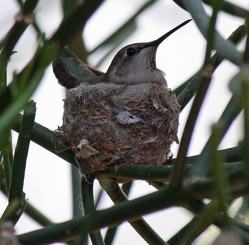 Hummingbird In Nest (7960)