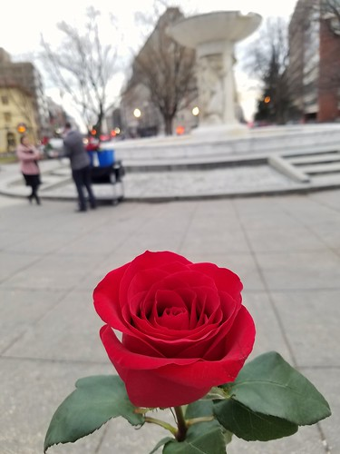 A Rose from The Dupont Circle Hotel