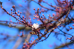 White Flower, Pink Branches