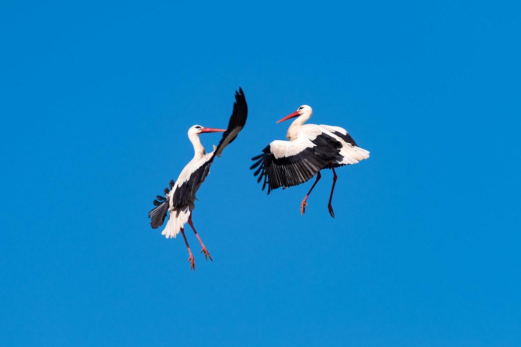 White Storks Fighting (Shot 2 of 11)