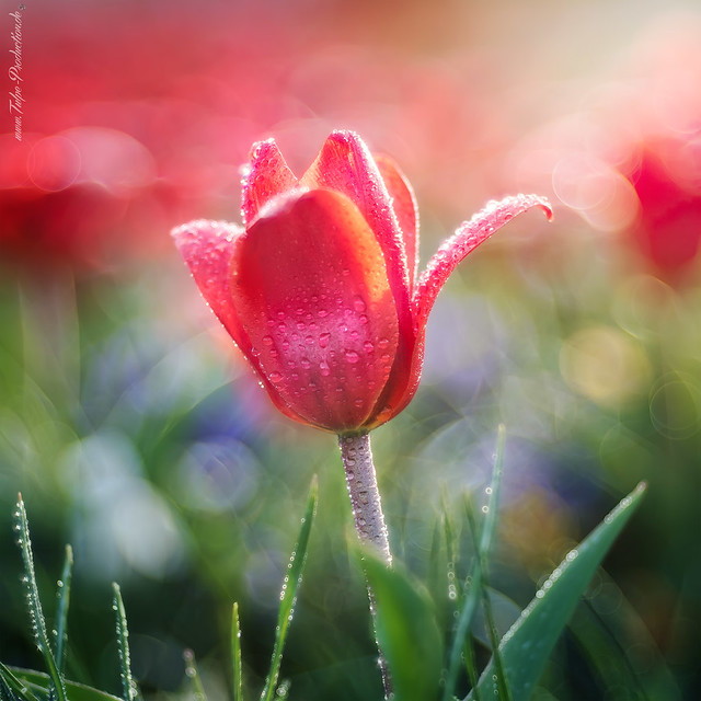 simply Tulip - Tulpe