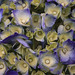 Flower pigments