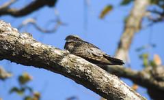 Lesser Nighthawk (Chordeiles acutipennis)