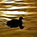 Nuotando in un lago d'oro...