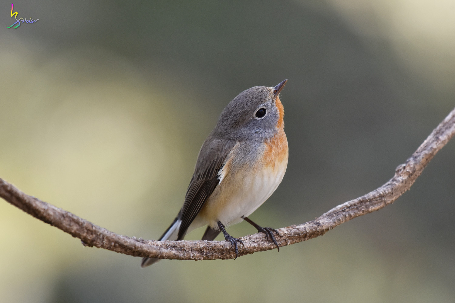 Red-breasted_Flycatcher_6849