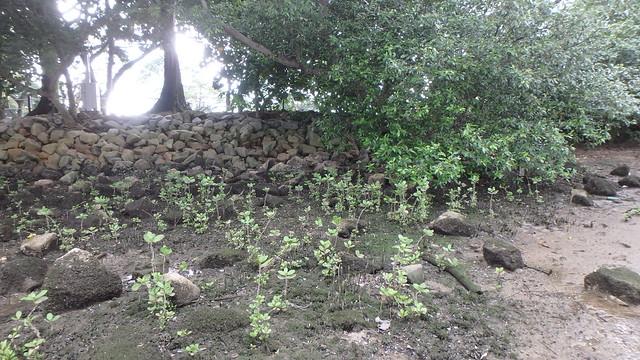 Mangrove saplings settling among unidentified clams (Family Mytilidae) at Kranji