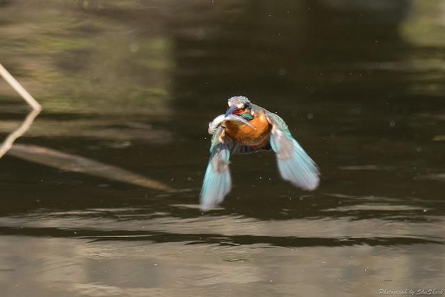 20180203-kingfisher-DSC_7028