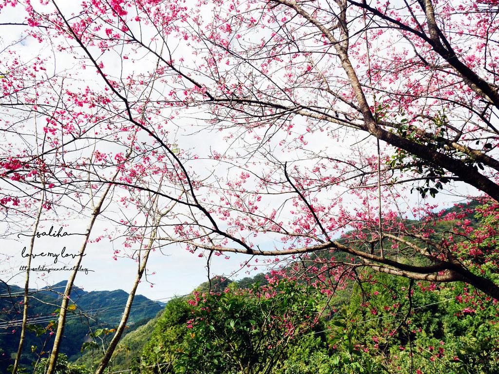 新北賞櫻景點推薦三峽花岩山林 (1)