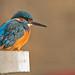 kingfisher portrait in the sun...