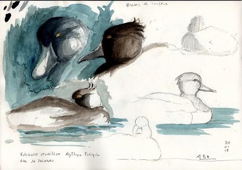 Sortie au lac de Paladru, croquis sur le fuligule morillon (Aythya fuligula).