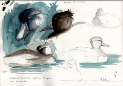 Sortie au lac de Paladru, croquis sur le fuligule morillon (Aythya fuligula). - Photo of Panissage