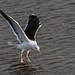 Touchdown - Great Black Backed Gull