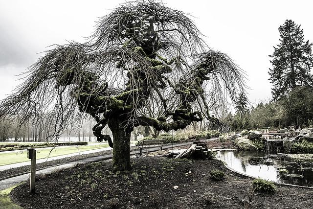 A century old Ulmus glabra 'Camperdownii' (Camperdown Elm)