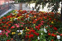 Cvijeće na Trgu braće hrvatskog zmaja u Zagrebu (122FAITH_7328)