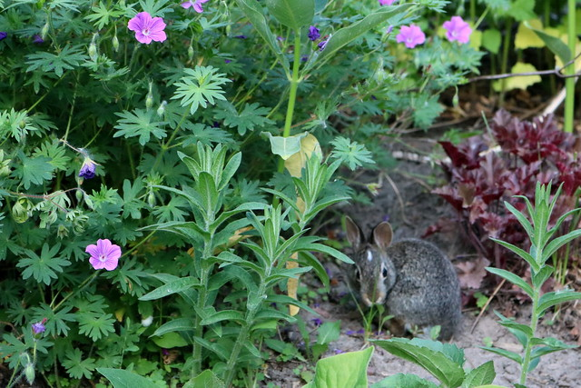 rabbit with its body facing away but turned back toward the camera, visible in the space between plants