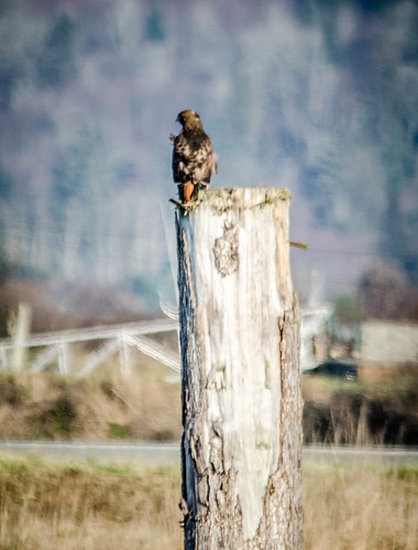Skagit Bird Watching-13