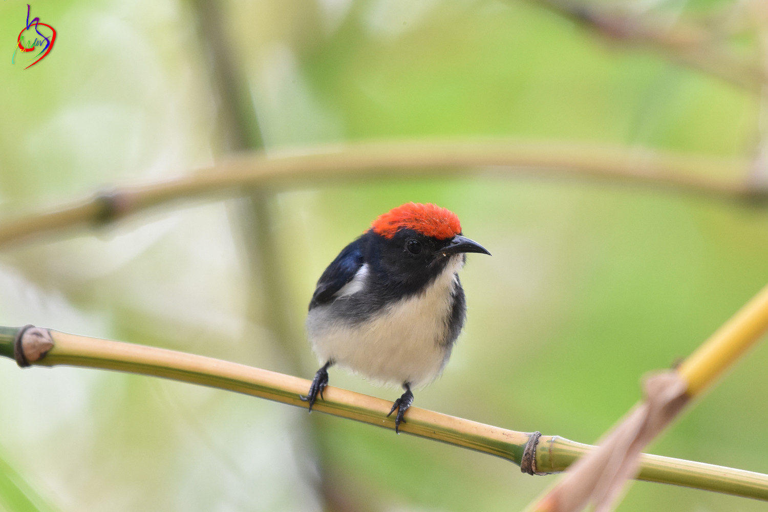 Scarlet-backed_Flowerpecker_4141