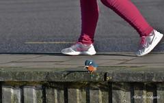 Kingfisher - Hertfordshire