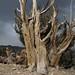 ancient bristlecone pine, Pinus longaeva by Jim Morefield