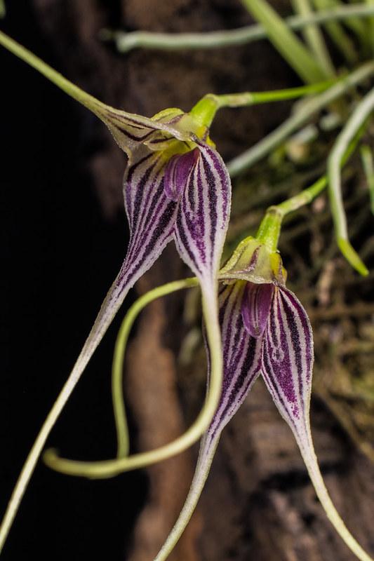 Miniatur-Orchideen Teil 4 - Seite 5 40010656412_cf4bf1a716_c