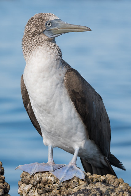 blue-footed booby perched on barnacles