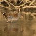 Water Rail - Rallus aquaticus